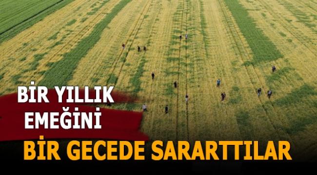 Buğday tarlasına zehir sıkılan çiftçinin bir yıllık emeğini bir gecede sararttılar